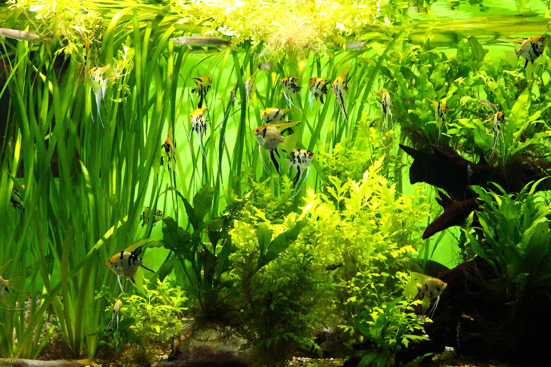 Ryby wśród bujnej, zielonej roślinności akwariowej.