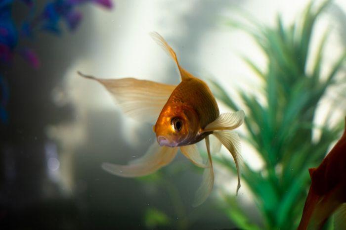 Złota rybka w akwarium z roślinnością.