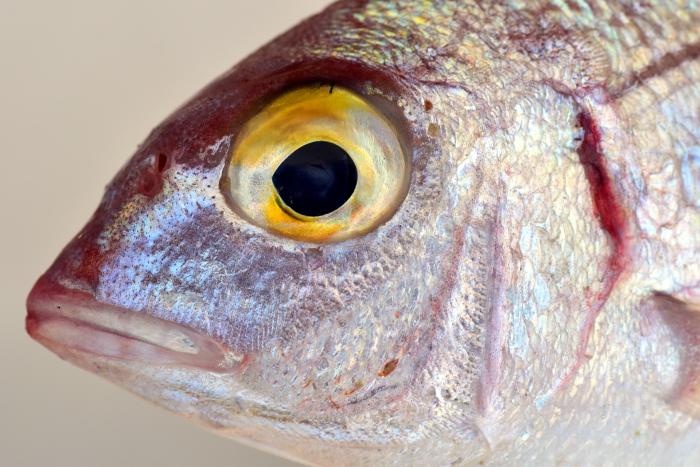 Srebrna ryba z żółtym okiem.