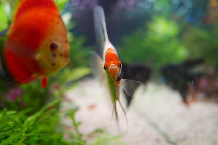 Ryby paletki w akwarium.