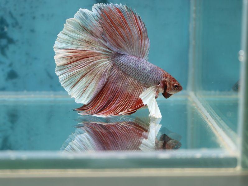 Samiec bojownika dwubarwny - biało - różowy. Bojowniki muszą być trzymane w sporym kwadratowym lub prostokątnym akwarium.