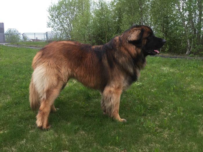 Sarplaninac stoi bokiem na trawie. Sarplaninac to duży pies o mocno zaznaczonym wgięciu na grzbiecie.