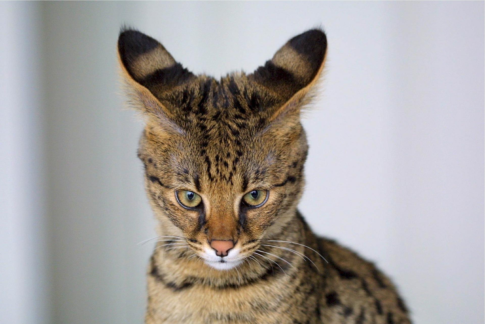 Kot savannah jest krzyżówką kota domowego i afrykańskiego serwala.