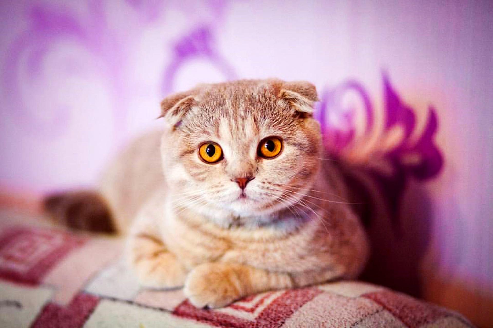 Koty zwisłouche mają tendencję do tycia. Bardzo ważne jest odpowiednie ich żywienie, dostosowane do stopnia aktywności.