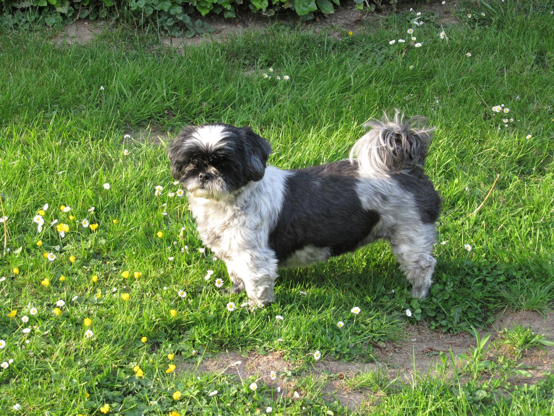 Shih tzu należą do psów ras małych o długiej i gęstej sierści. Ze względu na budowę czaszki mają duże tendencje do odkładania się kamienia nazębnego, problemów z kanalikami łzowymi oraz trudności z oddychaniem.