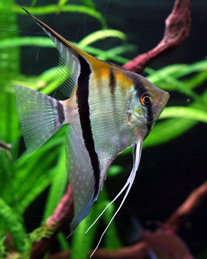 Ryba skalar pośród roślin w akwarium