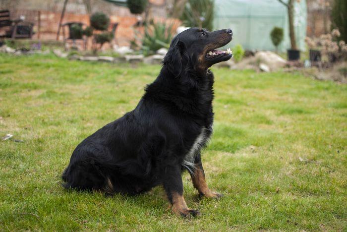 Pies rasy dużej narażony jest na skręt żołądka.