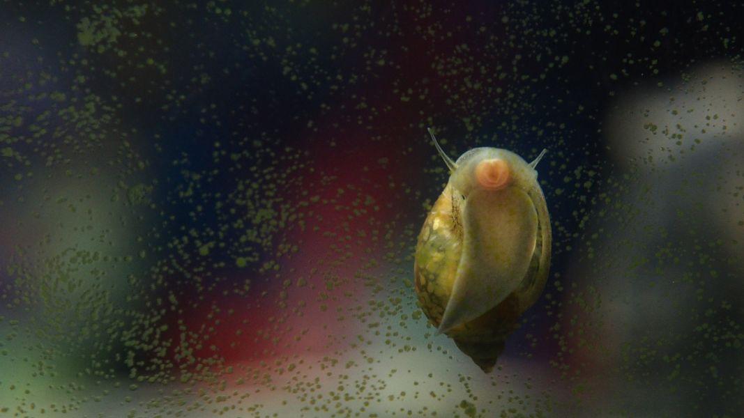 Ślimak na szybie akwarium.