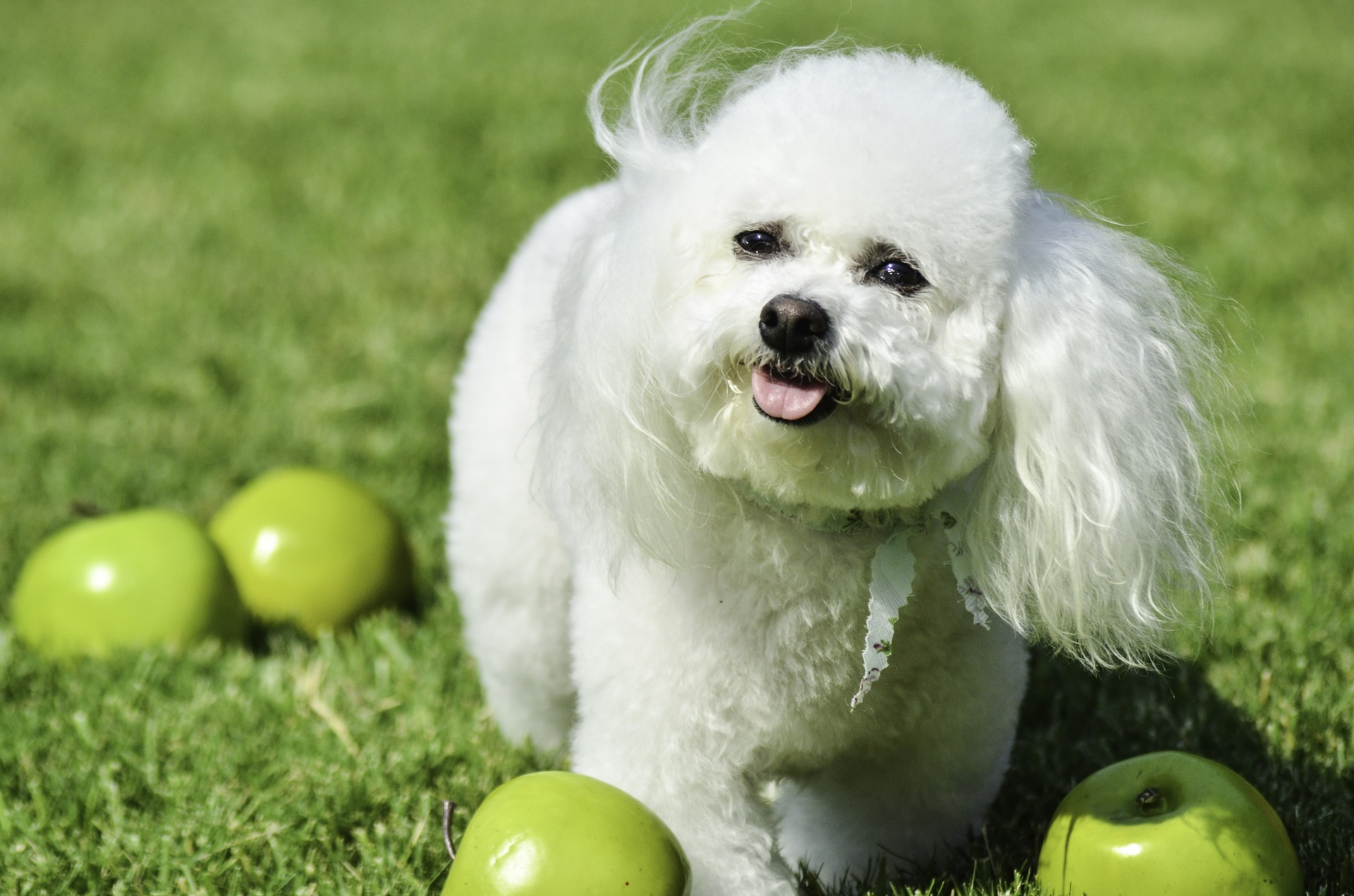 Bichon frise jest psem wymagającym pod względem okrywy włosowej, psy tej rasy należy regularnie czesać i kąpać, aby nie doszło do kołtunów, ani przebarwień.