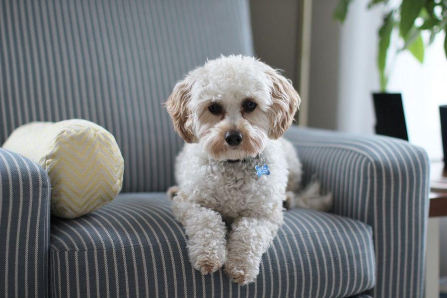 Apatyczny pies, taki jego stan może być spowodowany różnymi chorobami lub problemami behawioralnymi.
