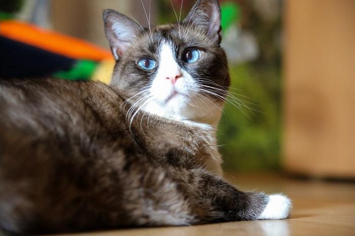 Kot snowshoe ma charakterystyczną maskę na psyku i białe skarpetki.
