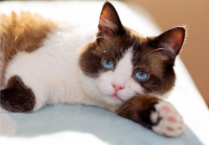 Kot snowshoe z niebieskimi oczami.
