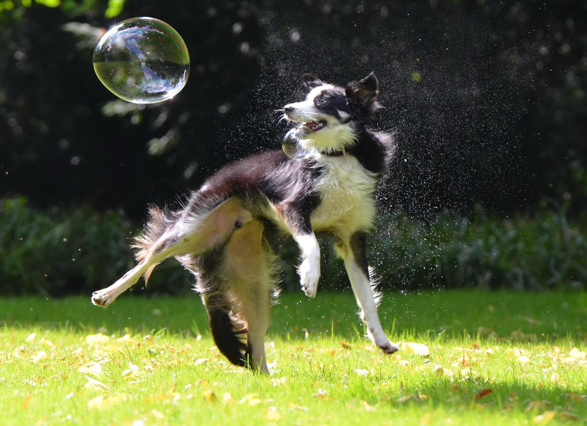 Border collie są psami wymagającymi, bez odpowiedniej aktywizacji mogą wykazywać zachowania niszczące, a nawet depresyjne.