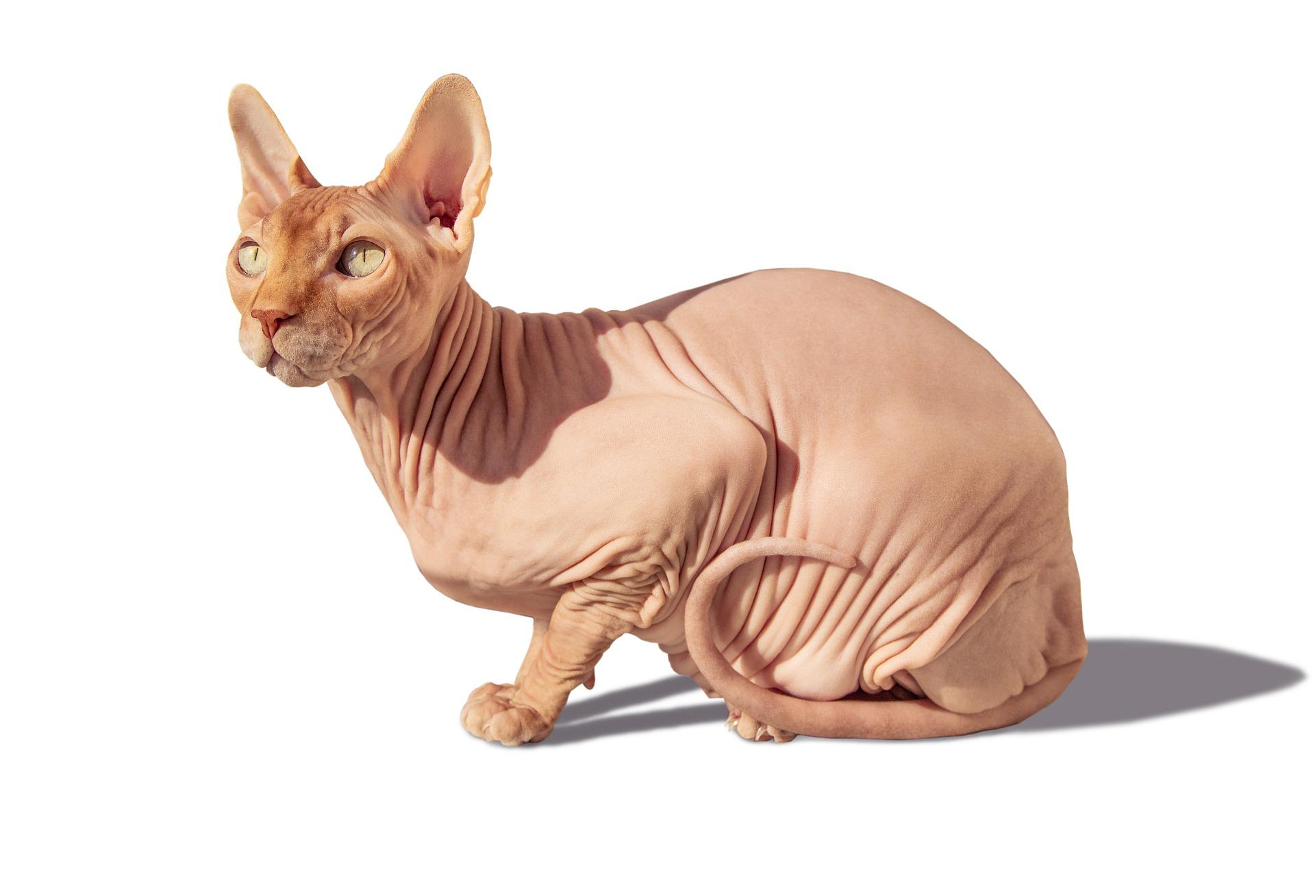 Sfinksy nie posiadają owłosienia, ich wibrysy są skrócone i często poskręcane, dopuszczalny jest niewielki meszek na ciele - w okolicach uszu, łapek i pyszczka.