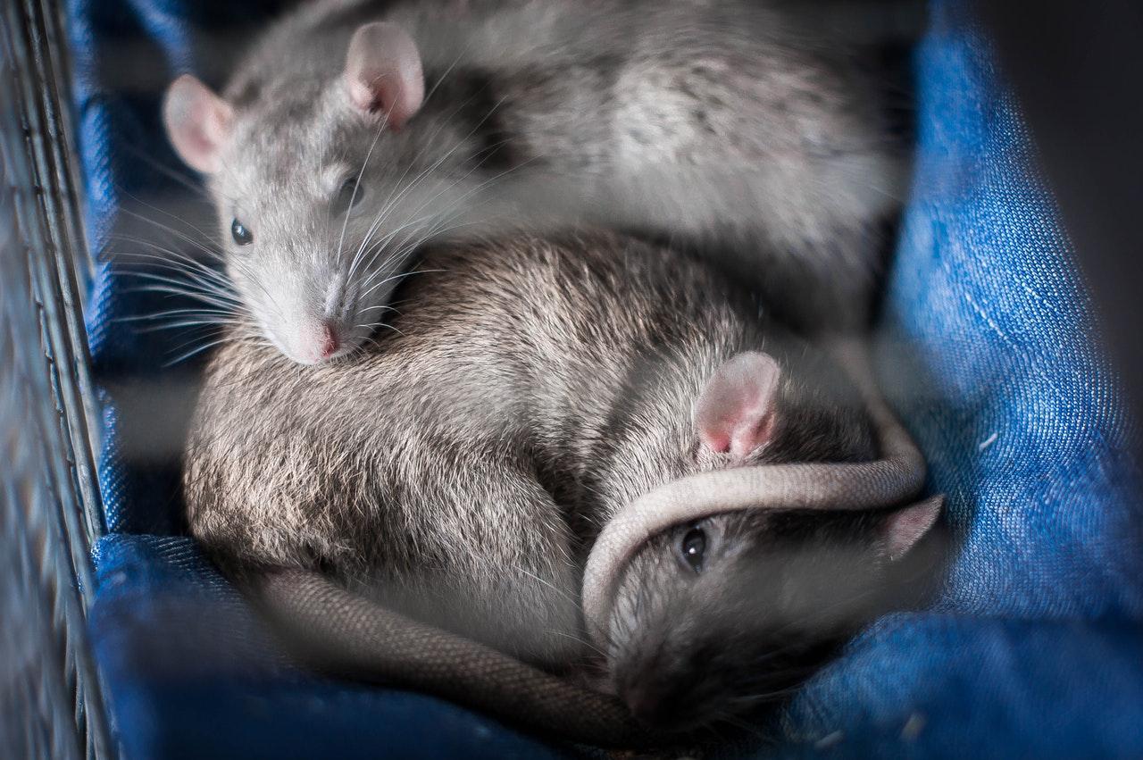 Szczury śpią razem w klatce.