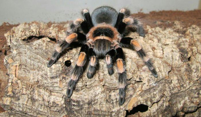 Tarantula na korzeniu ozdobnym w terrarium