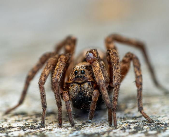Tarantula z widocznymi włoskami na ciele.