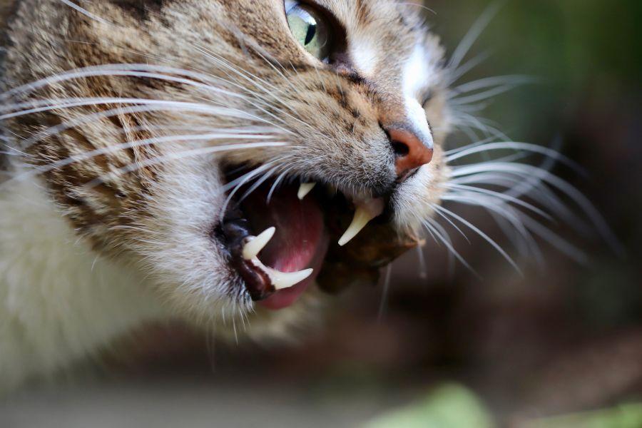 Kot je mięso, które jest najlepszym źródłem tauryny dla kota.