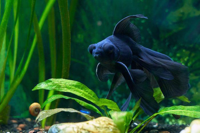 Bojownik w akwarium