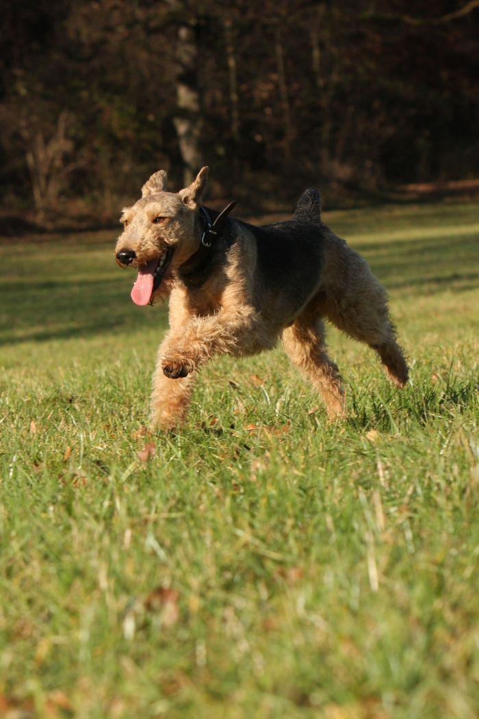 Terier walijski skacze po parku.