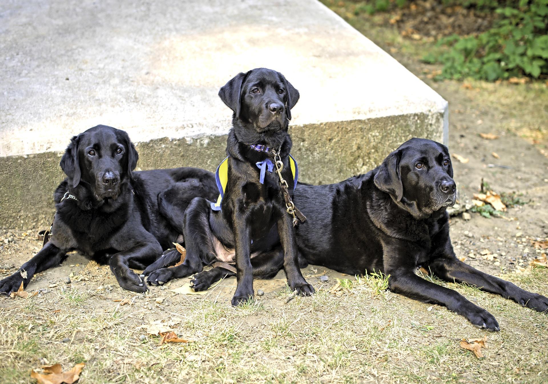 Labradory występują w trzech odmianach barwnych - biszkoptowym, jednolitym czarnym oraz brązowym. Ich sierść nie jest wymagająca, od czasu do czasu można ją przeczesać i wyskubać martwy włos. Labradory mają wodoodporny podszerstek.