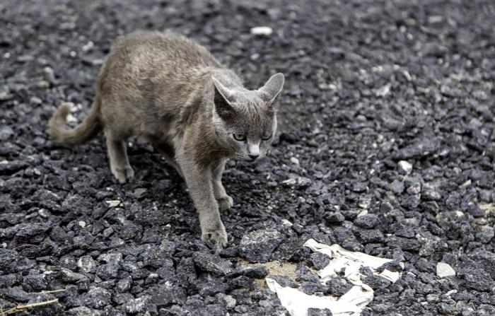 Zagubiony kot rasowy.