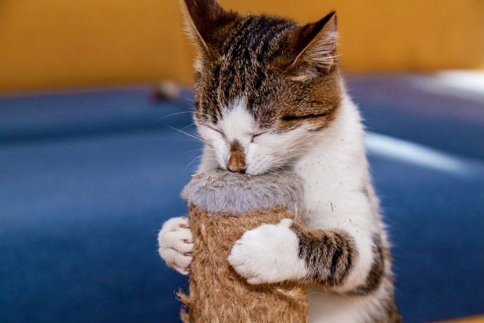 Kot wącha drapak nasączony walerianą.