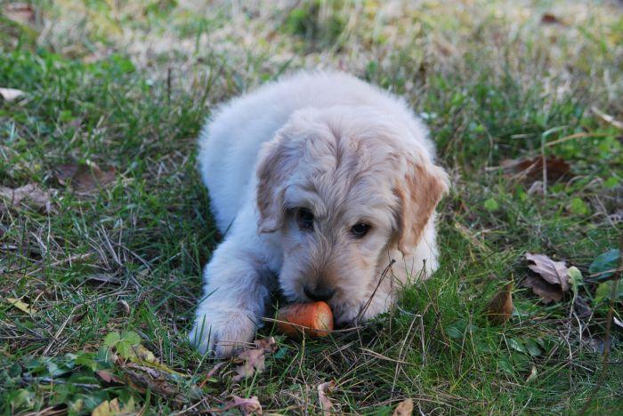 Pies je marchewkę na trawie