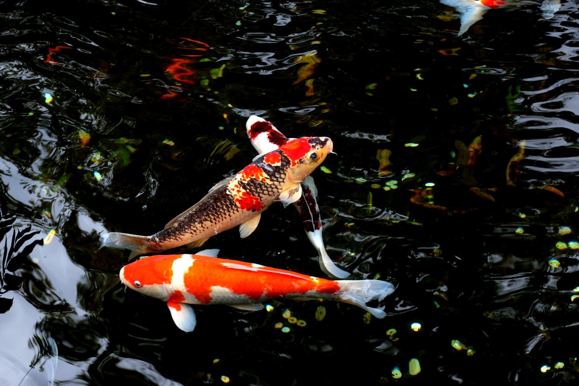 Ryby w oczku wodnym podnoszą jego walory. Najlepsze są ryby spokojne, osiągające nieduże rozmiary ciała i odporne na warunki atmosferyczne w Polsce.