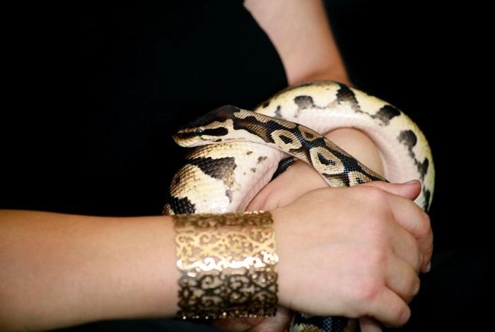 Młody wąż boa na rękach.