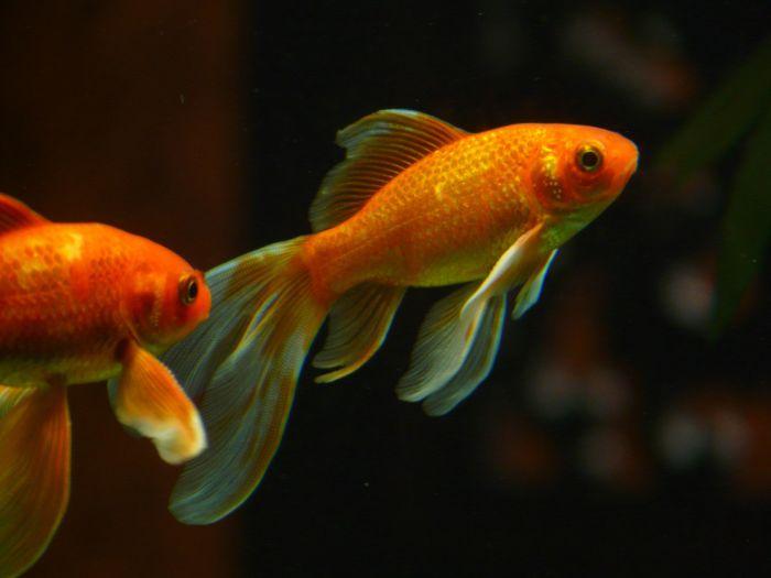 Ryby welony to jedna z odmian złotych rybek