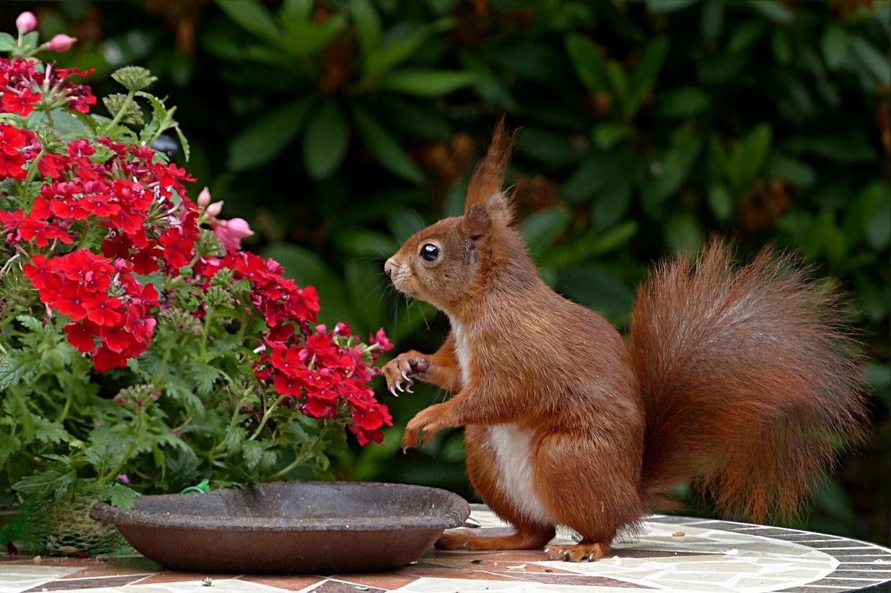 Dzikie wiewiórki na wolności żyją tylko ok. 3-4 lata, te hodowlane dożywają nawet do 7 lat.