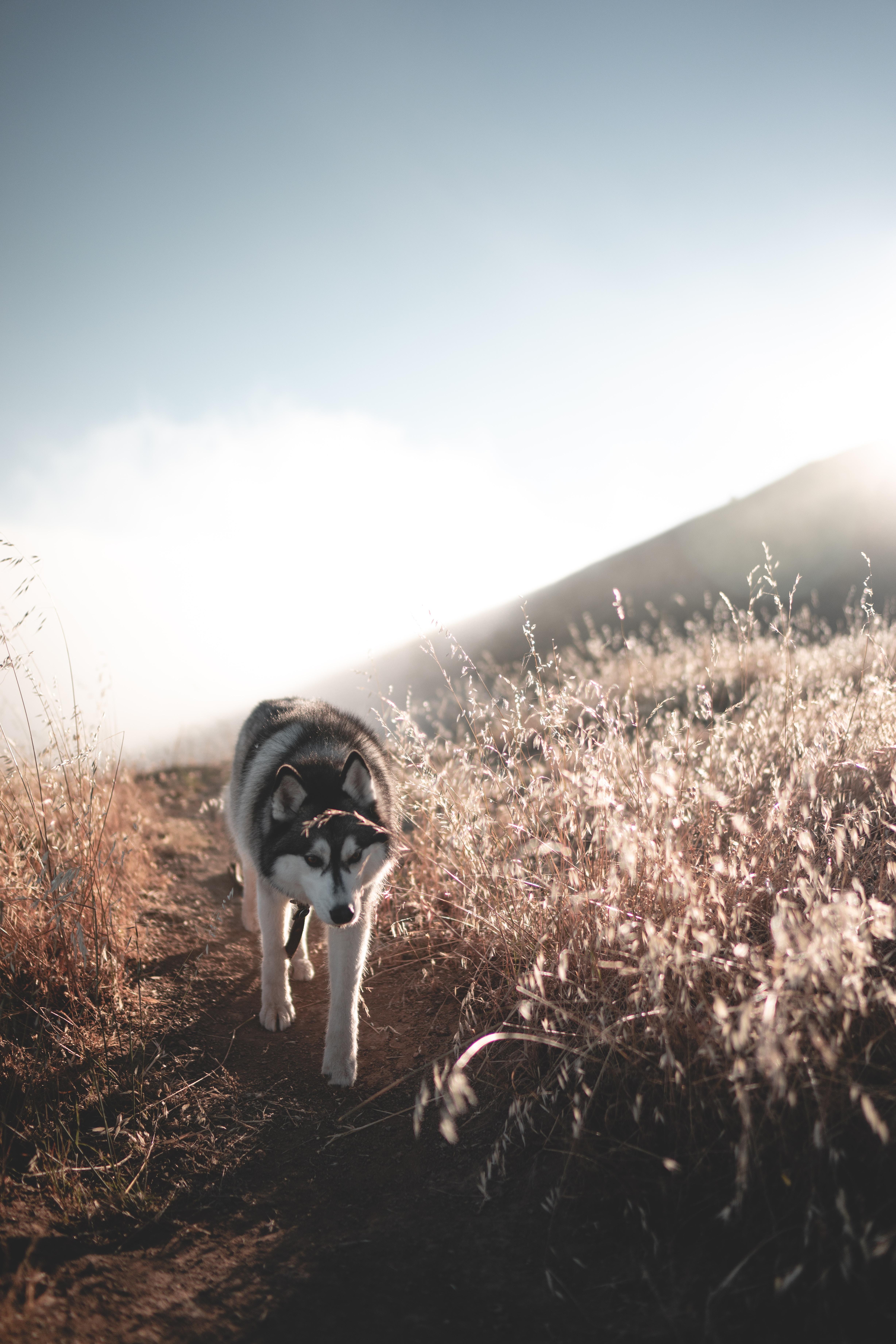 Husky spokojnie przechadza się pośród pól, na polnej ścieżce.
