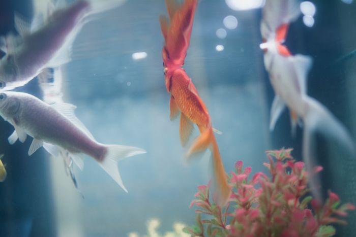 Rybki akwariowe