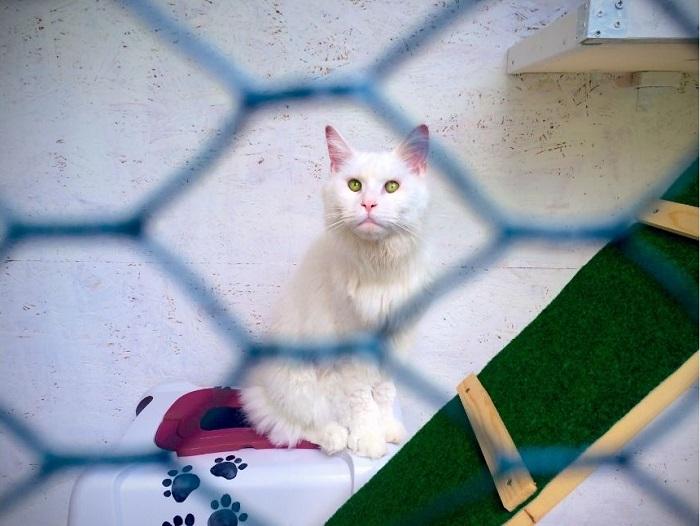 Kot syberyjski w wolierze na tarasie, wyposażonej w legowiska, drapaki i schodki.