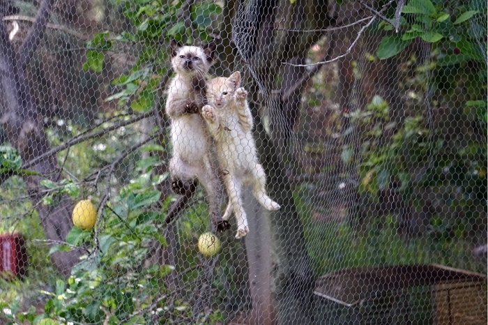 Dwa kociaki wspinają się po siatce w wolierze.