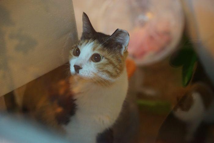 Kot z przyciętym uchem w schronisku.