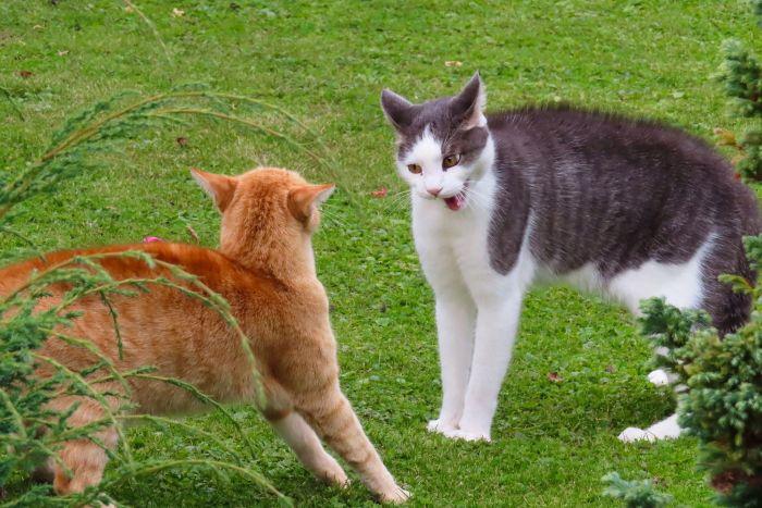 Dwa koty podczas rozpoczynającej się bójki.