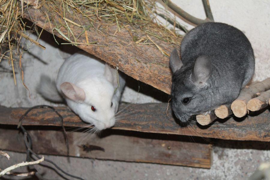 Szynszyle to zwierzęta stadne, uwielbiają towarzystwo innych szynszyli.