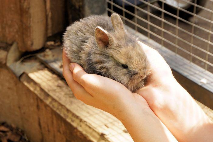 Królik miniaturowy na dłoniach w klatce.