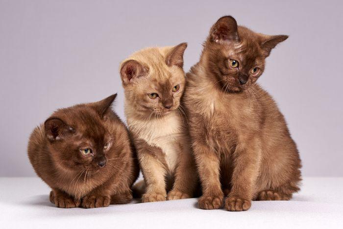 Koty burmskie