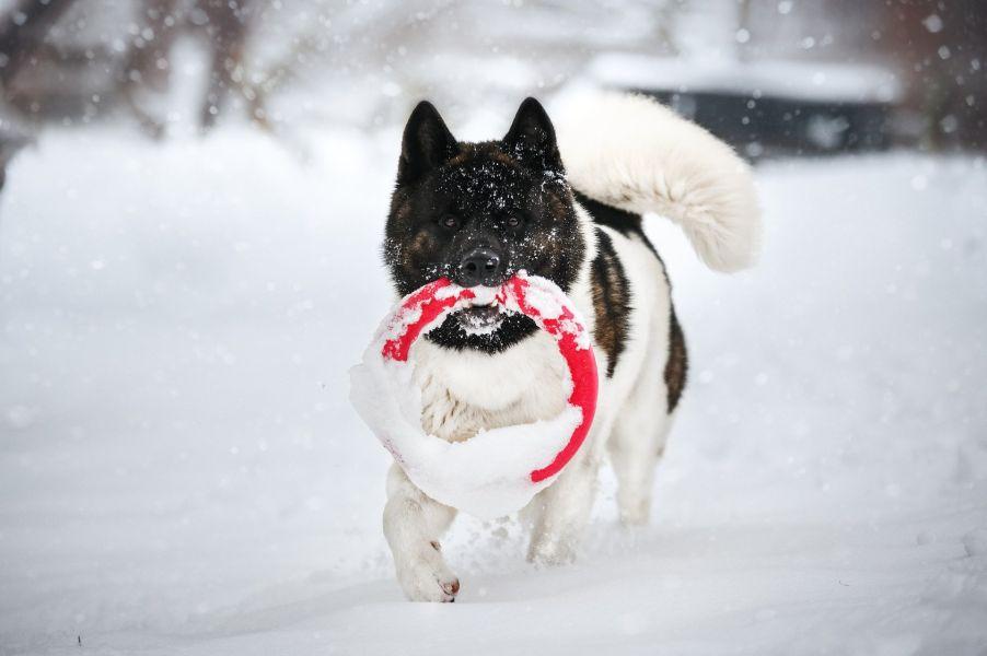 Akita podczas zabawy w śniegu.