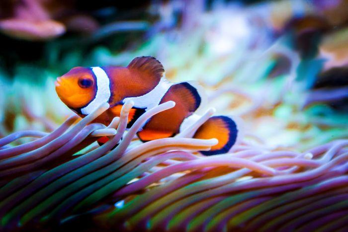 Rybka nemo w akwarium morskim