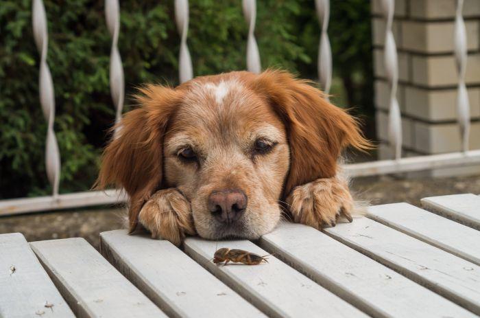Pies spogląda na insekta
