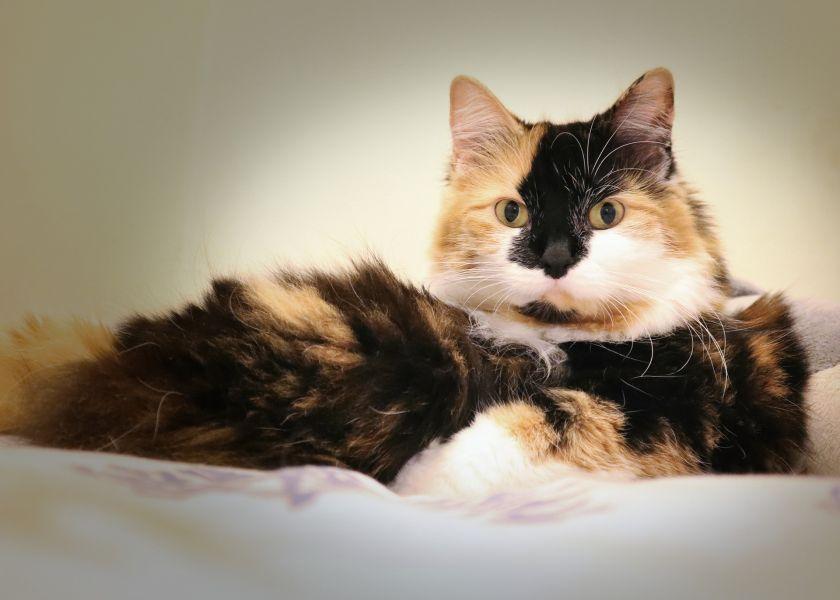 Kot japoński bobtail długowłosy tricolor.