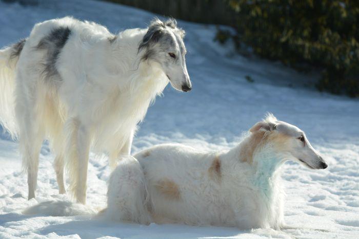 Dwa borzoje na śniegu