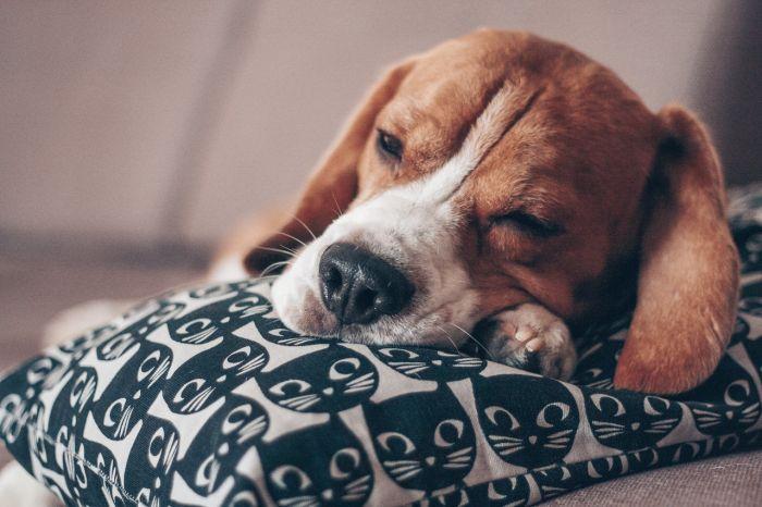 Beagle śpi na posłaniu.