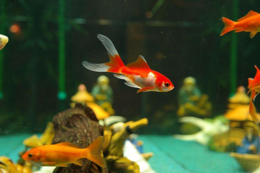 Karmienie ryb akwariowych powinno odbywać się 1-2 dziennie.