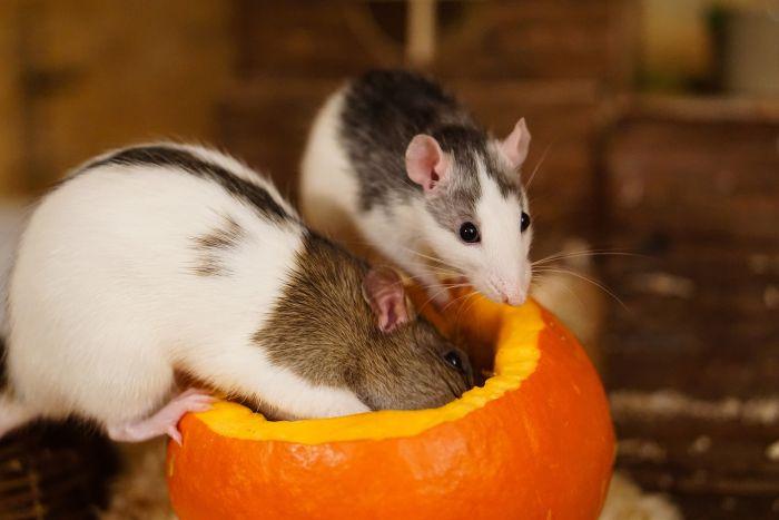 Dwa szczury wyjadają dynię.