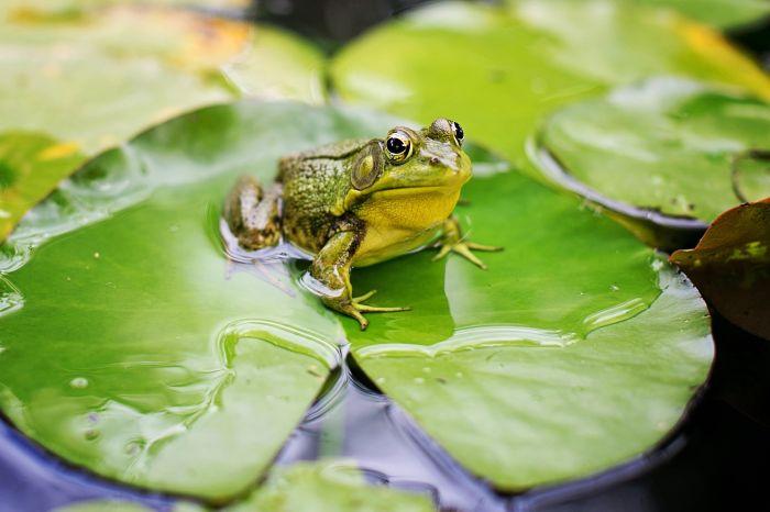 Żaba na liściu na wodzie